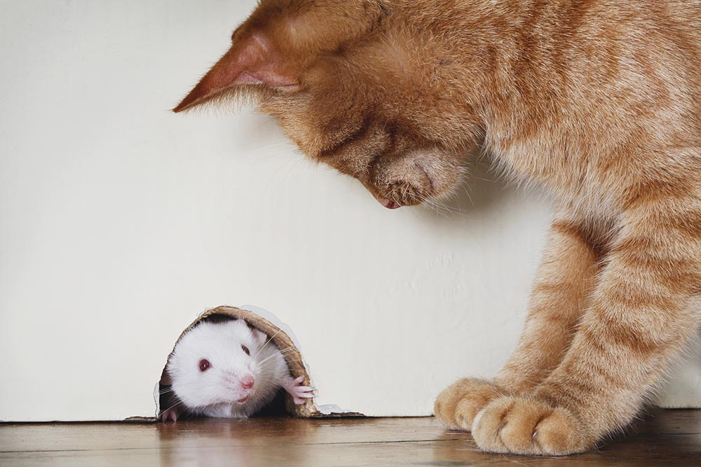 Cat trying to catch a mouse