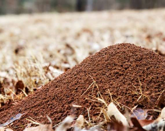 A Fire Ant Mound
