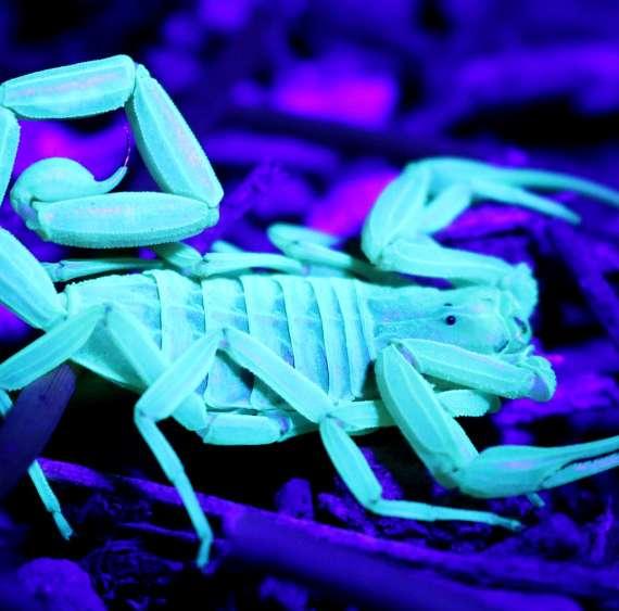 A Glowing Scorpion