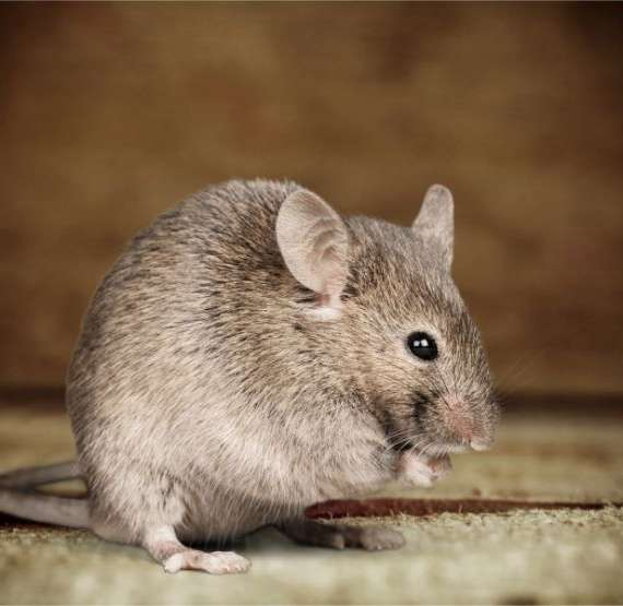The Grey Mouse