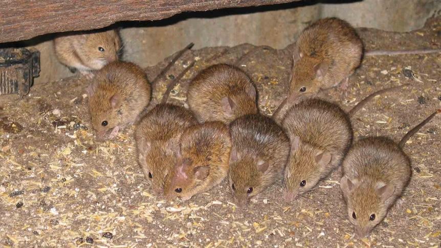 Mice in the barn