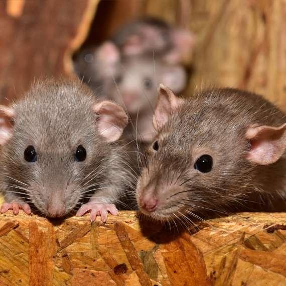 A Couple Mice